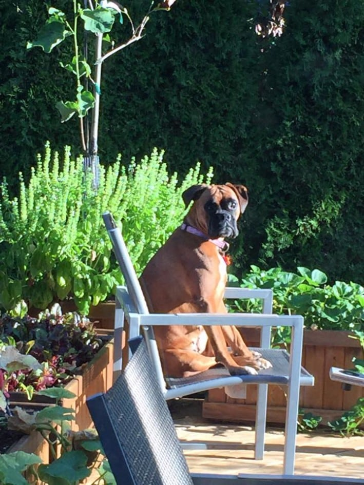Boxer with Mystery Illness