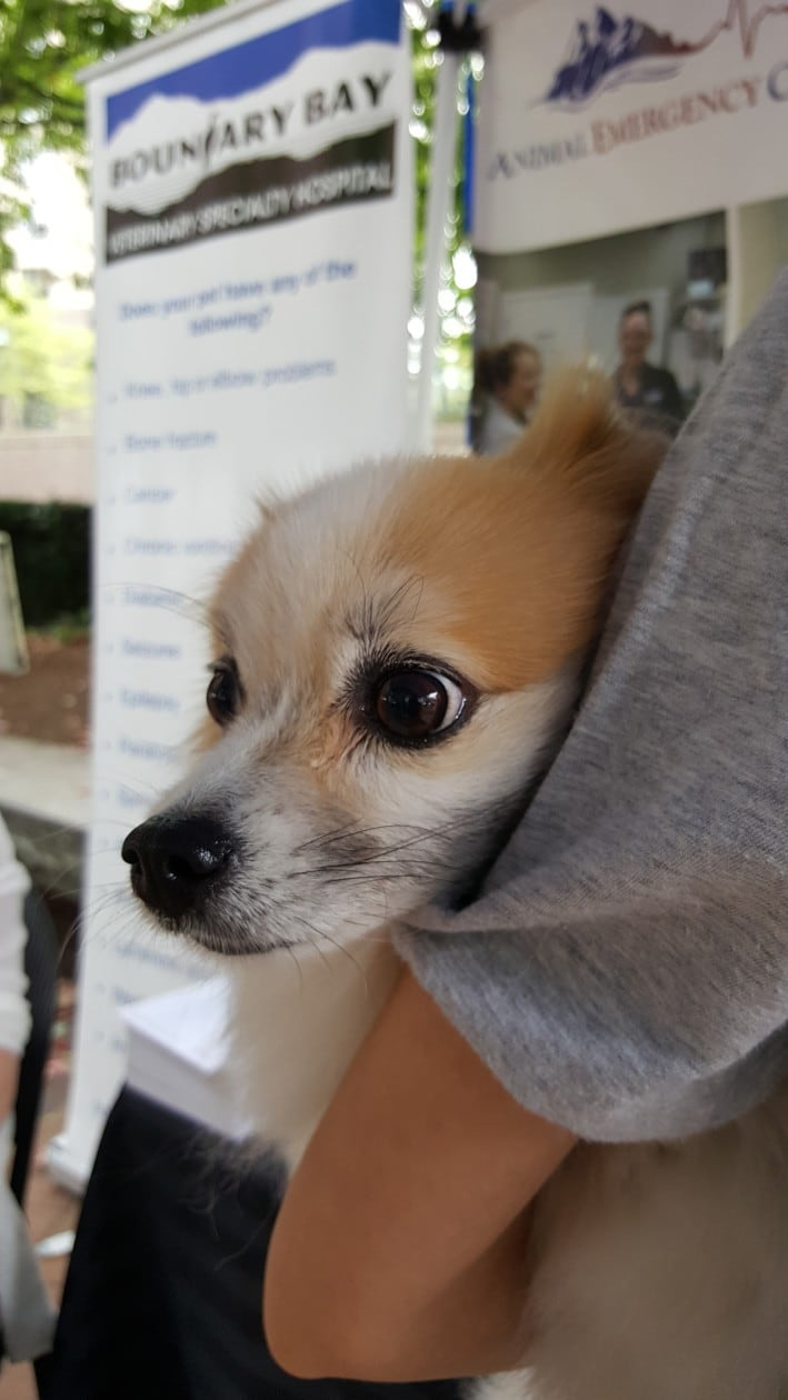 Pomeranian in her owners arms