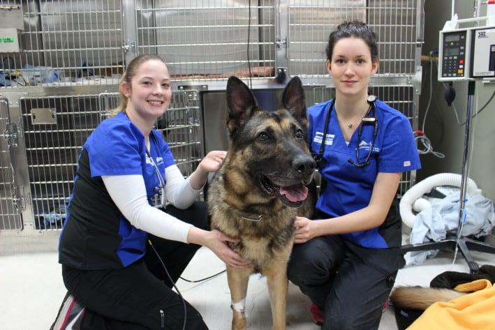 Gunner The RCMP Service Dog's Extended Abdomen