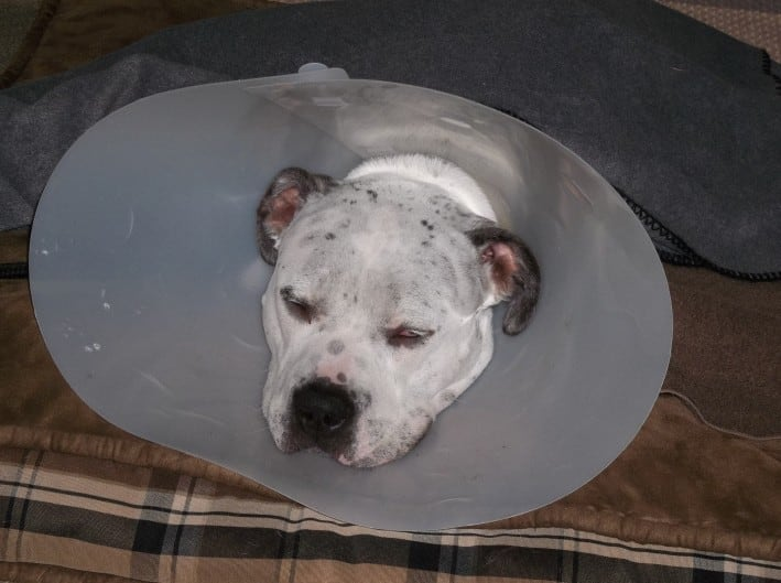 Talu resting at home after his TTA surgery
