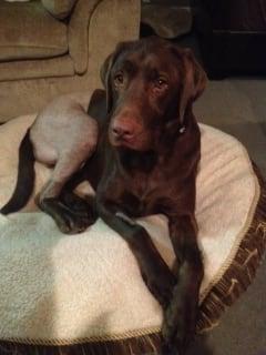 Canine 1 week post right Tibial Tuberosity Advancement (TTA) Surgery.